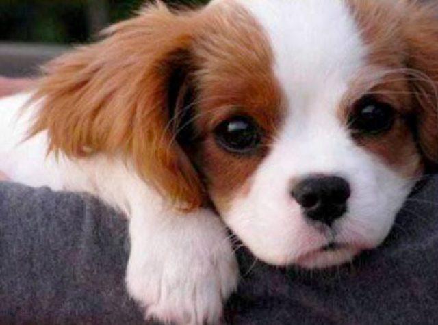 TOP 30 Cute Puppies Cute Puppy 17