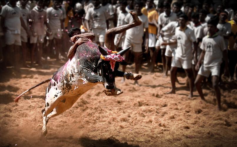 Madurai alanganallur jallikattu