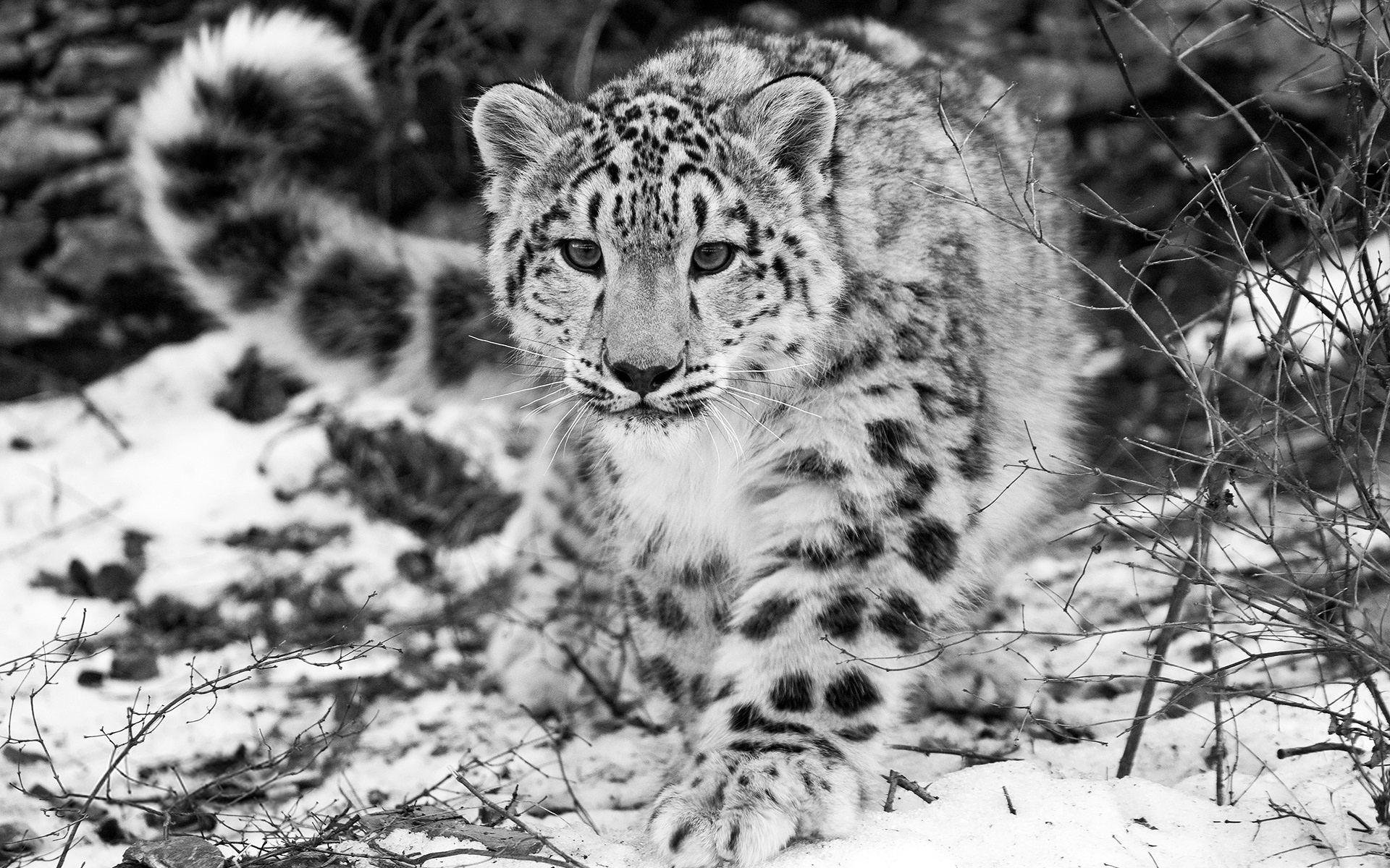 snow leopard snow hunting attention black and white